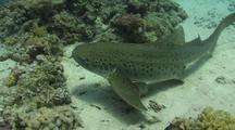 Leopard Shark Lying On Sandy Bottom Then Moving And Swimming Off Into The Blue