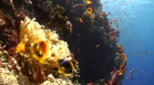 Clown-Fish And Anemone On Coral Reef Wall