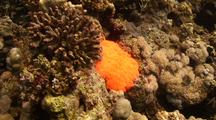 Stunning, Flourishing Coral Reef With Large Bright Red Anemone
