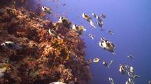 Large School Of Masked Puffer Fish Swimming Above Coral Reef Wall