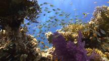 Hard And Soft Coral Reef With Glass Fish