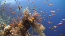 Coral Reef With Anthia Fish
