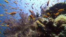 Coral Reef Drop Off With Anthia Fish