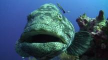Close Up Of Large Groupers Face