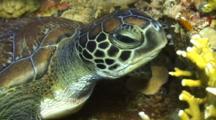 Juvenile Green Sea Turtle Close Up On Face