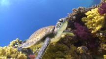 Juvenile Green Sea Turtle Swimming Towards Camera Close To Coral Reef Bottom
