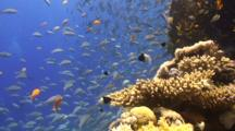 Large School Of Juvenile Parrot Fish Swimming Around Coral Reef