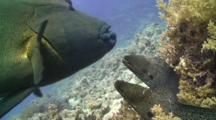Two Moray Eels, Courting, Touching, Interacting, Disturbed By Large Napoleon Wrass Which Enters Frame