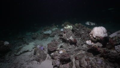 Spot-fin Porcupine fish swimming above coral reef at night