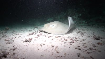 Giant Trevally and Common Stingray hunting on coral reef at night
