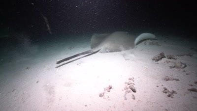 Common Stingray, Large Nurse shark and Giant Trevally swimming over sand at night and feeding