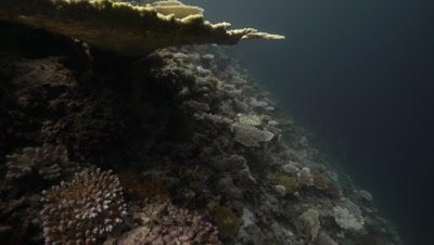 Table coral bleaching