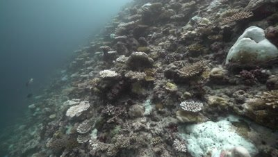 Bleached coral reef