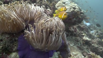 Maldive Anemonefish living in magnificent sea anemone on coral reef wall