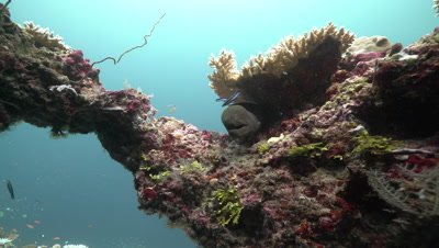 Moray Eel lying on coral reef being cleaned by bluestreak cleaner wrass