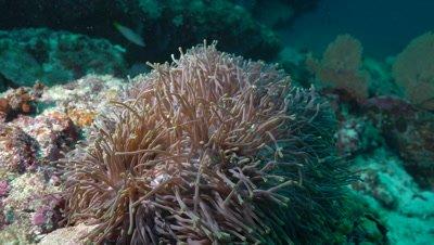Maldive Anemonefish living in magnificent sea anemone