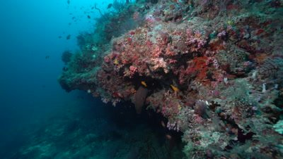 Moray Eel leaning out from coral reef overhang