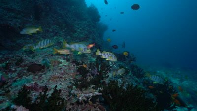 Small group of bluestripe snapper on coral reef
