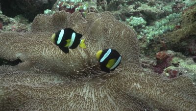 Clark's Anemonefish in Haddon's Carpet Anemone on coral reef