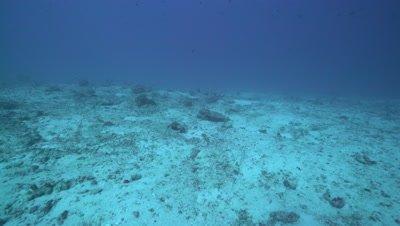 Whitetip reef shark lying on sandy reef bottom then swimming away