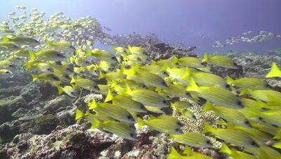 School of bluestripe snapper on coral reef