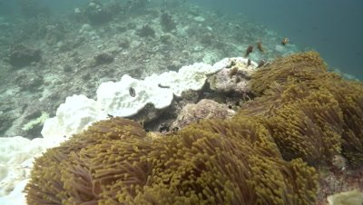 Several Maldive Anemonefish living in magnificent sea anemones on damaged and heavily bleached coral reef pinacle
