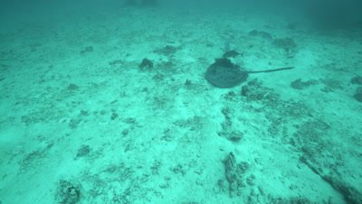 Marbled stingray swimming over sandy sea floor