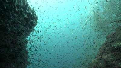 School of glass fish swimming around gap in coral reef wall