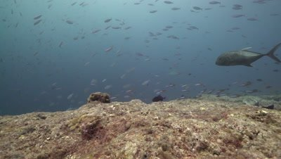 Giant Trevally hunting school of fusiliers around coral reef drop off with Grey Reef Sharks patrolling
