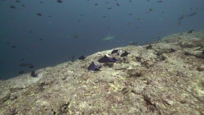 Grey Reef Shark patrolling along coral reef wall drop off