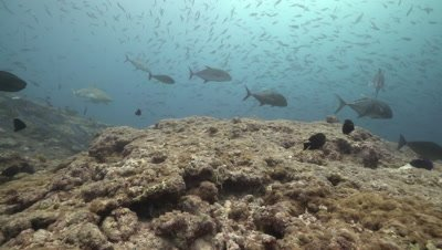 Giant Trevally hunting school of fusiliers of coral reef drop off with Grey Reef shark prowling