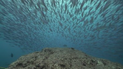 Giant Trevally hunting school of fusiliers of coral reef drop off
