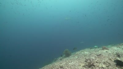 Grey Reef Shark swimming over coral reef drop off