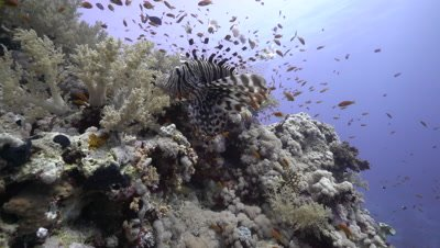 Lion Fish swimming over coral reef and exits frame