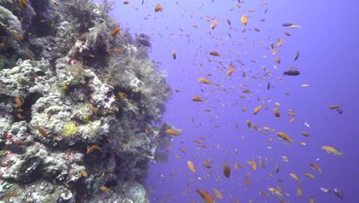 Healthy Coral Reef drop off, Red Sea