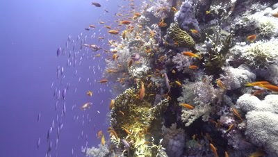 Small school of Fusiliers fleeing up side of coral Reef wall, Red Sea