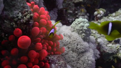 Red Anemone with a pair of Red Sea Anemonefish