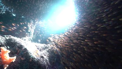 Large school of glassfish sheltering in shallow coral reef cave system
