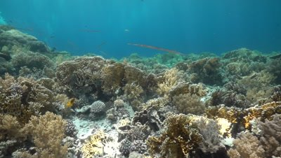 Cornet fish swimming above fire coral and healthy coral reef