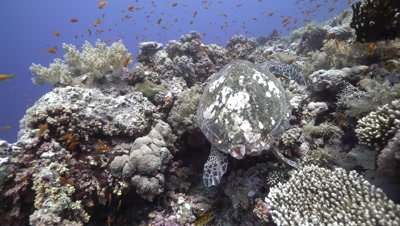 Hawksbill sea turtle swimming over coral reef