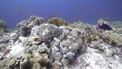 Hawksbill sea turtle swimming on coral reef