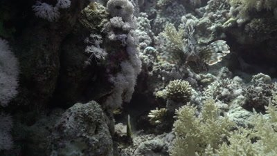 Lion Fish hunting on coral reef