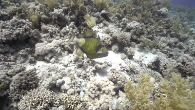 Titan Triggerfish on coral reef