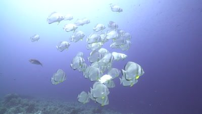 School of Bat Fish swimming in blue water