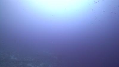 School of Bat Fish swimming in blue water