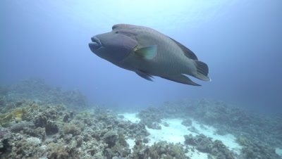 Napoleon wrasse swimming over sandy coral reef