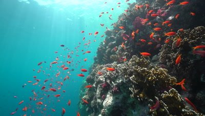 Healthy Coral Reef, Red Sea