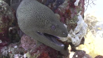 Giant Moray Eel in being cleaned by cleaner shrimp and bluestreak cleaner wrasse
