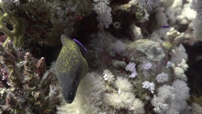 Yellow-edged moray eel in coral reef