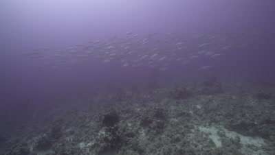 School of yellowspotted trevally swimming over deep coral reef